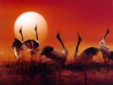 盐城国家级珍禽自然保护区丹顶鹤