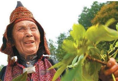 古老神奇的瑶医瑶药是我国民族医药中的一枝奇葩。