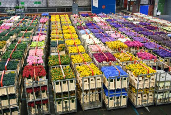 荷兰有一个全球最大的鲜花市场,叫阿斯米尔鲜花市场,有200个足球场大。