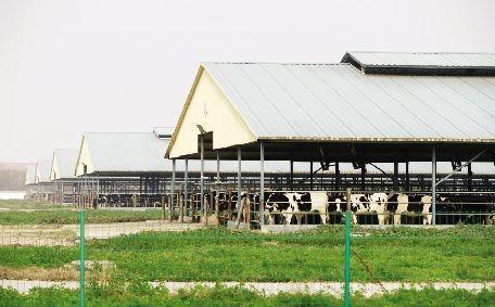 11月18日,陕西省眉县青化镇,现代牧业宝鸡牧场养殖场内有不少奶牛。 本报记者 徐楚云 摄