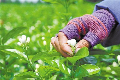花农在中华茉莉园采摘茉莉花。记者段柳健 摄