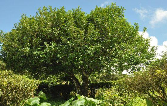 茶树树龄多为二百年至三百年以上
