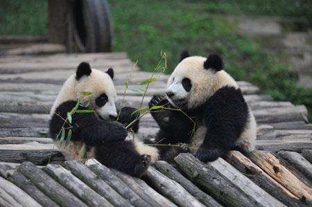 雅安大熊猫 全世界的友谊使者(组图)