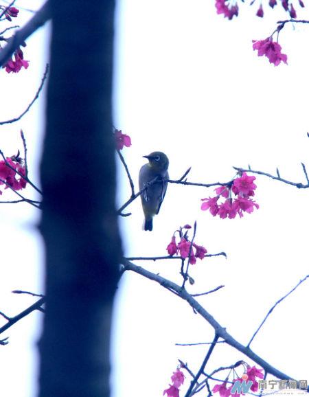 樱花吐蕊蜂鸟报春 南宁月月旅游节赏花全攻略