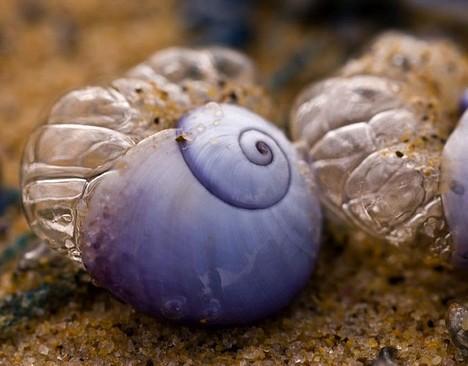 蜗牛海紫色是一种a蜗牛的蜗牛腹足用一句话夸奖动物图片