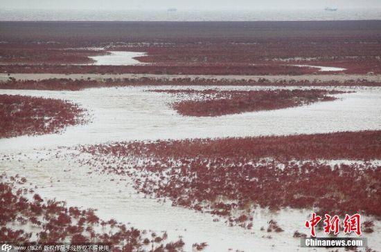 """山东黄河口现""""红地毯""""浪漫奇幻景象"""