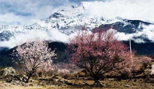 西藏林芝桃花节 景色美丽绝伦
