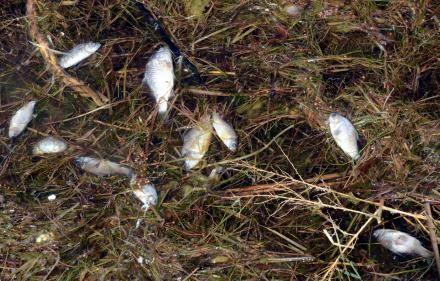 被污染死去的鱼