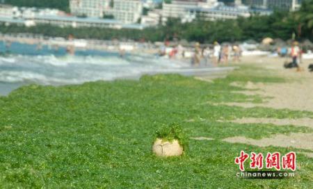 三亚海滩遭绿藻袭击 专家称无负面影响(组图)