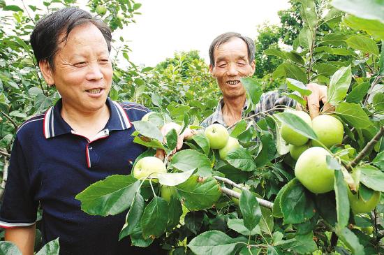 谁说浙江不产苹果 嵊州苹果上市了