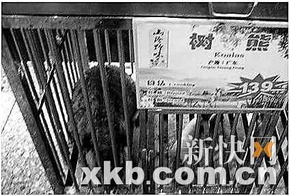 澳洲游客投诉广州餐馆卖考拉 酒家称是饲养芒鼠