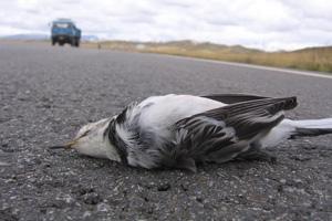 过路动物被压得血肉模糊