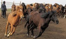 绿镜第1期:内蒙牧民借高利贷保护铁蹄马