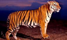 第2期:中国虎的最后100年