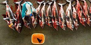 媒体曝光日鱼翅工厂千只鲨鱼割鳍后遭遗弃(图)