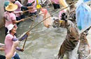 泰国老虎收容所给虎灌药供游客戏弄