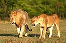 草原狮的激情与柔情