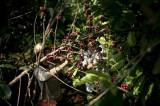 图文:工人在采咖啡豆