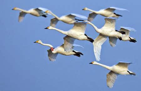 黄河三角洲首次发现环志大天鹅