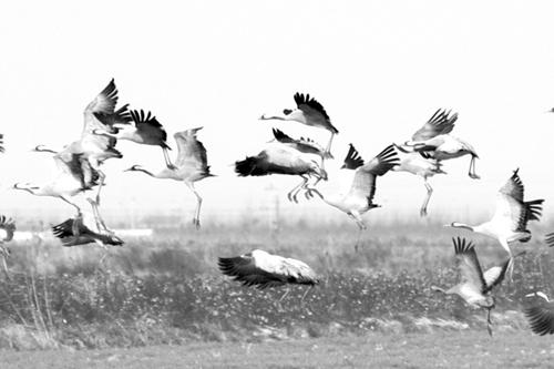 近日,江苏盐城天气转好,灰鹤,丹顶鹤等多种候鸟飞抵盐城国家级自然