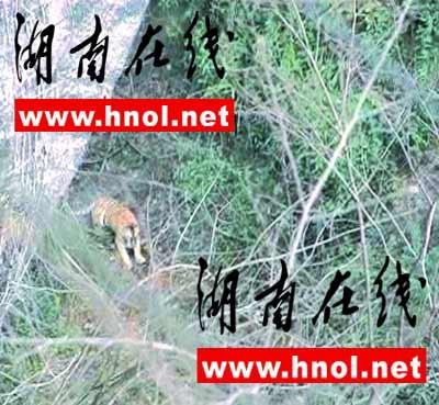 湖南省林业厅:平江疑似华南虎录像系造假