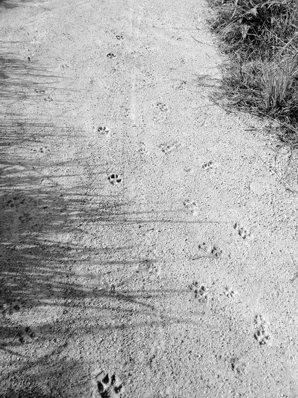 云霄:深山土路上 发现了一串奇怪的梅花状脚印 脚印