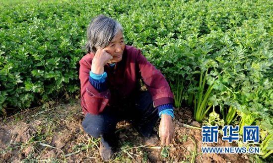 4月18日,面对自家丰收的芹菜,河南中牟县明山路村农民邢素荣因没有销路而愁眉不展。新华社记者 朱祥 摄