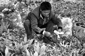 4月22日,大兴区一蔬菜大棚内,菜农正在采摘油菜。本报实习生 田恬 摄
