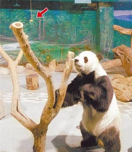 """台动物园特训大熊猫""""团团圆圆"""" 盼其生""""龙子"""""""