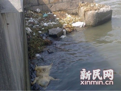 图说:横潦泾水域内也漂浮着死猪。新民网记者卜春艳 现场回传