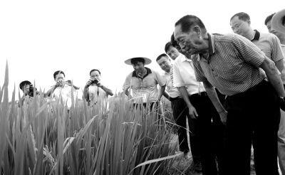 2013年7月30日,袁隆平院士在安徽省舒城县检察超等杂交稻长势。