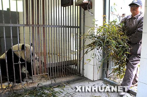 组图:大熊猫团团和圆圆震后团圆