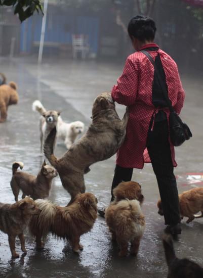 """5月8日,在""""爱之家""""小动物救助中心,狗狗们欢迎出门归来的陈运莲女士."""