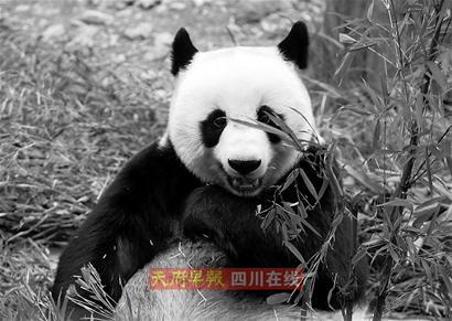 济南动物园大熊猫死亡 皮毛将运回四川故里(图)