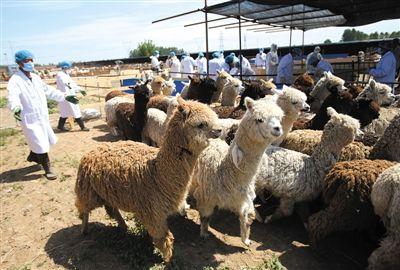 国内首次大规模进口羊驼 946头在京郊检疫(图)