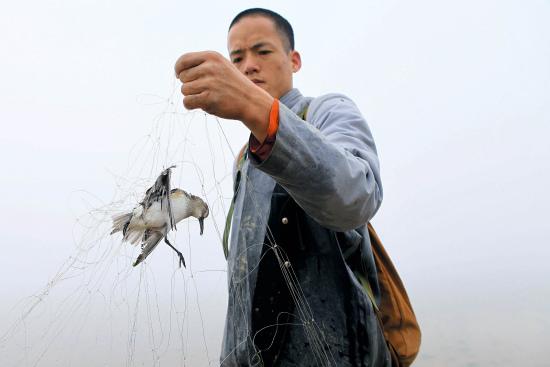 东林寺护生会的居士发现了一只缠绕在天网上的尖嘴鹬。