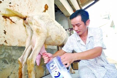 7月29日上午,韦星雨在给羊挤奶。Y