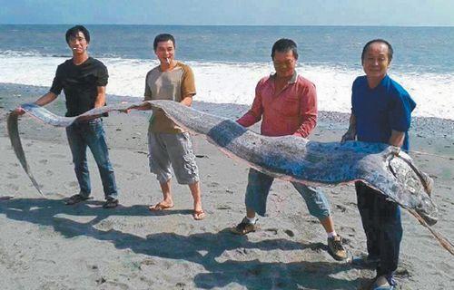 钓友郭秋霖在台东海滨公园附近海滩,以钓竿将5公尺长的地震鱼。 图/钓友郭秋霖提供