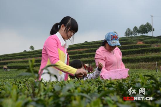 清明踏青茶园显春意长沙茶农采茶忙(图)