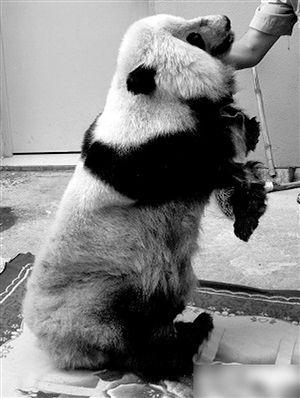 警方查获的熊猫标本 通讯员供图(来源:现代金报)