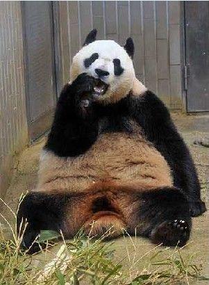 日本上野动物园拟为超重大熊猫减肥(图)