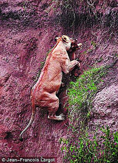 母狮将幼仔叼在口中,设法爬上峭壁。