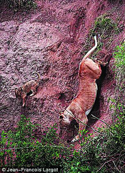 母狮冒着危险一步步接近幼仔