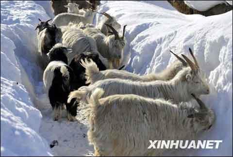 新疆积雪厚野生动物觅食困难 未来三天再有降雪