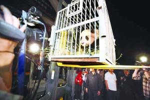 奥运熊猫今抵雅安