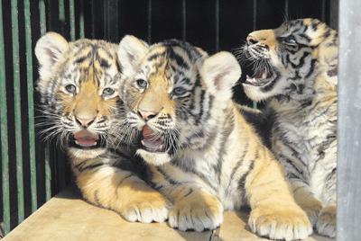 图①:三只小老虎活泼可爱