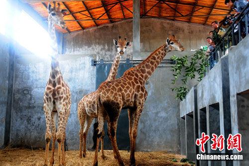 云南石林台创园从非洲进口野生动物供研究