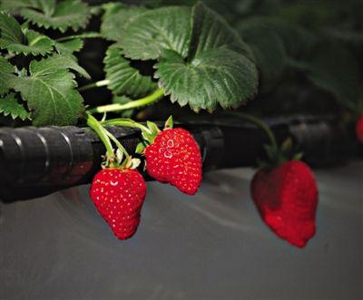 草莓植株结构图