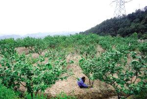 一位老农正在给樱桃树修剪枝叶本组图片均由本报记者 陈浮 摄-本地图片