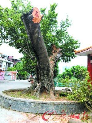 340多年古树被砍剩树杈 林业局:未按审批表砍伐属违规